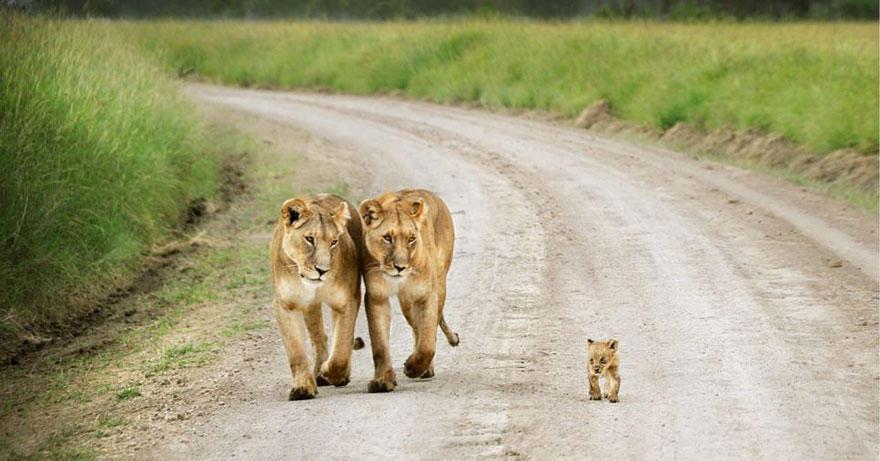 animalparents03 Эти животные научат быть хорошими родителями