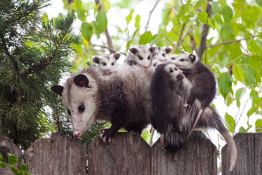 animalparents04 Эти животные научат быть хорошими родителями