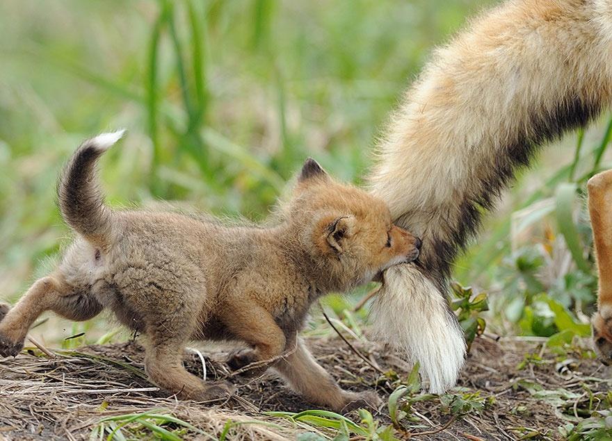 animalparents05 Эти животные научат быть хорошими родителями