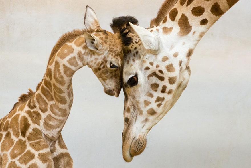 animalparents09 Эти животные научат быть хорошими родителями
