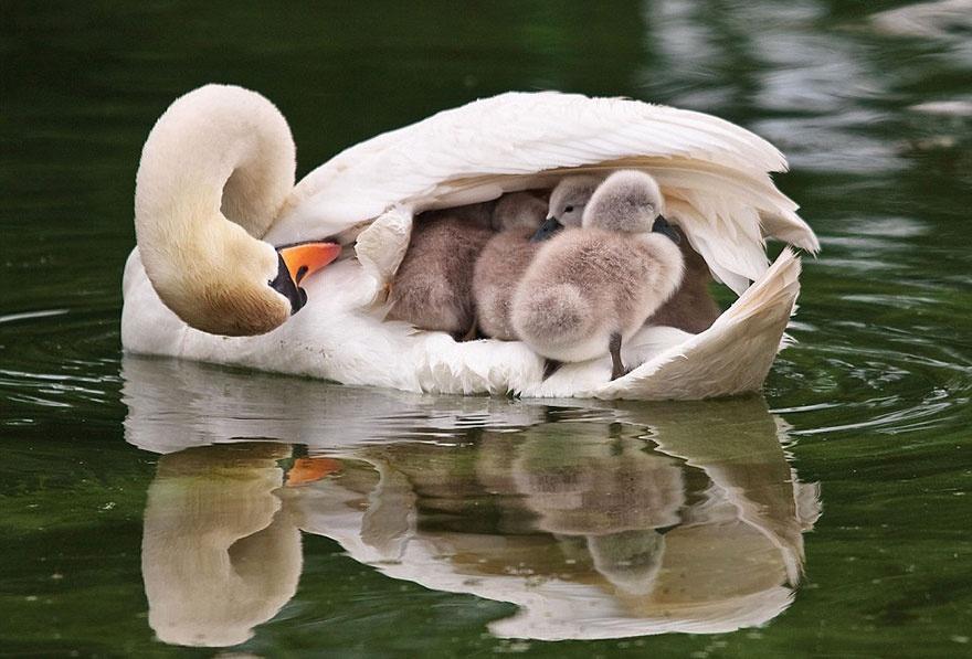 animalparents15 Эти животные научат быть хорошими родителями