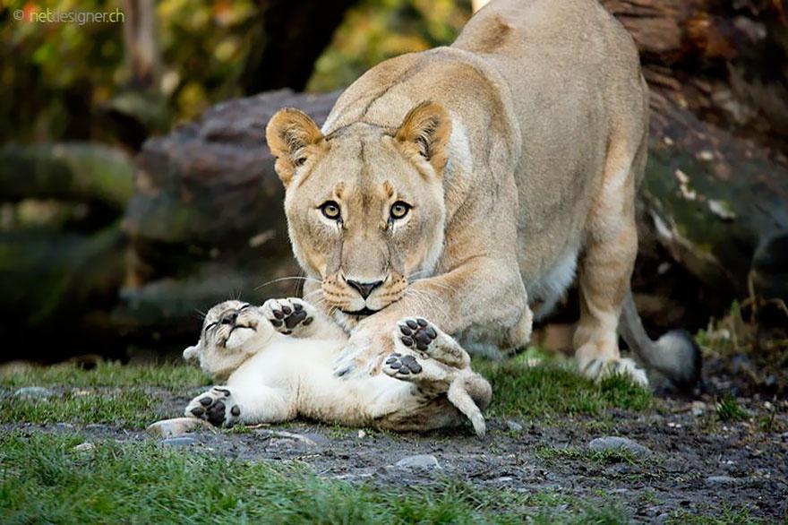 animalparents18 Эти животные научат быть хорошими родителями