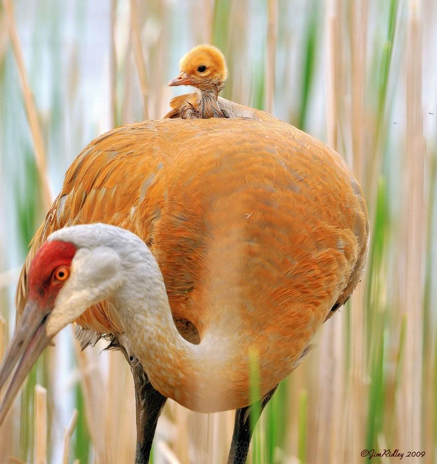 animalparents23 Эти животные научат быть хорошими родителями