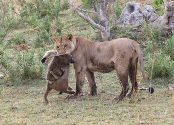 lionpavian01