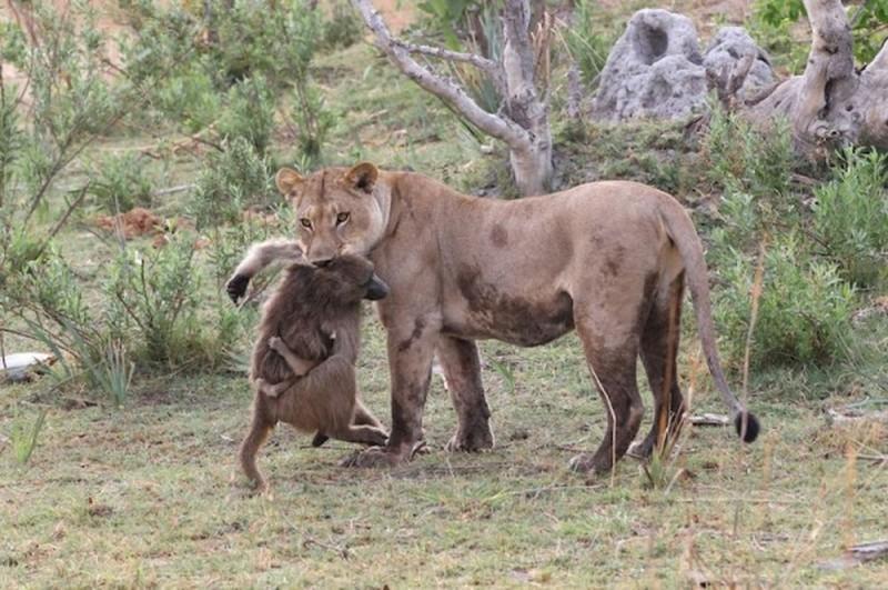 lionpavian01 800x531 Невероятная история, которая шокирует многих