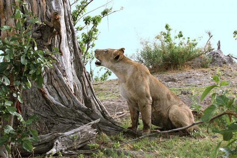 lionpavian02 Невероятная история, которая шокирует многих