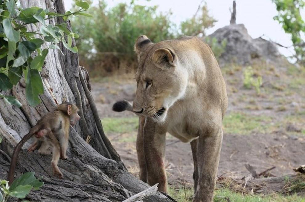 lionpavian03 Невероятная история, которая шокирует многих