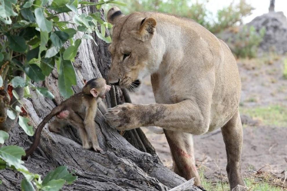 lionpavian04 Невероятная история, которая шокирует многих