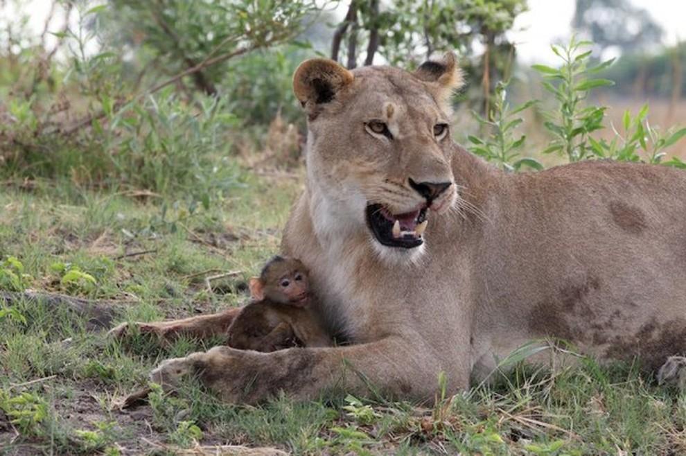 lionpavian05 Невероятная история, которая шокирует многих