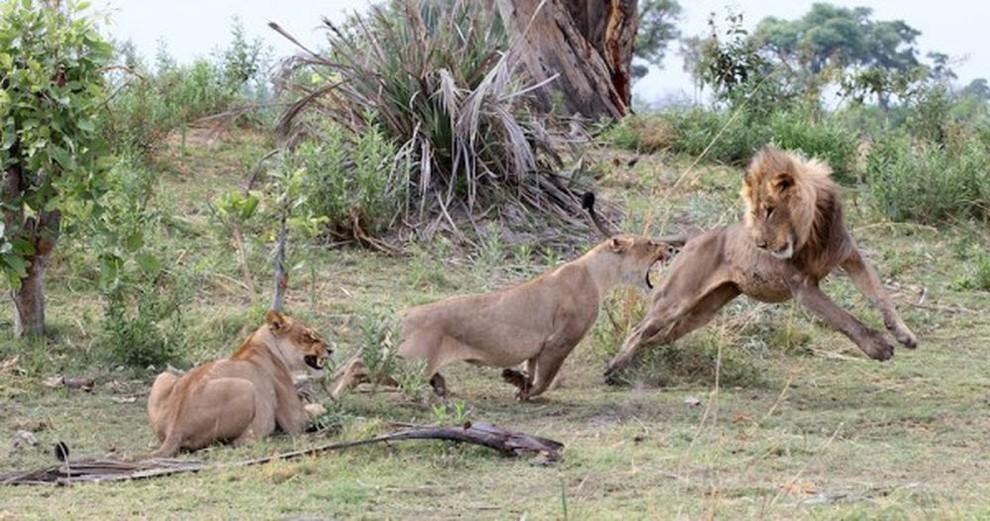 lionpavian08 Невероятная история, которая шокирует многих