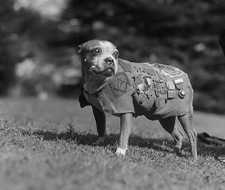 sgtstabby01 Сержант Стабби — героический пес Первой мировой войны