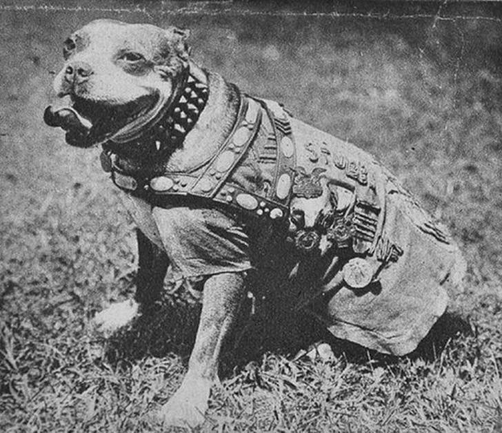 sgtstabby03 Сержант Стабби – героический пес Первой мировой войны
