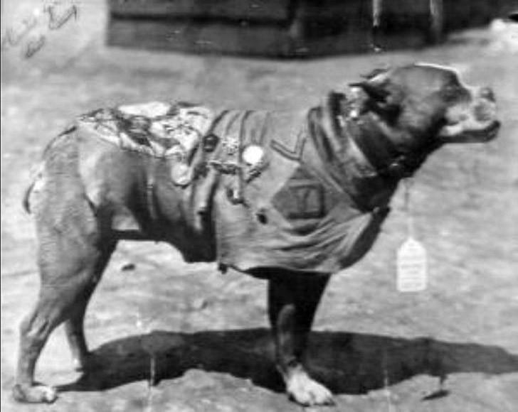 sgtstabby04 Сержант Стабби – героический пес Первой мировой войны