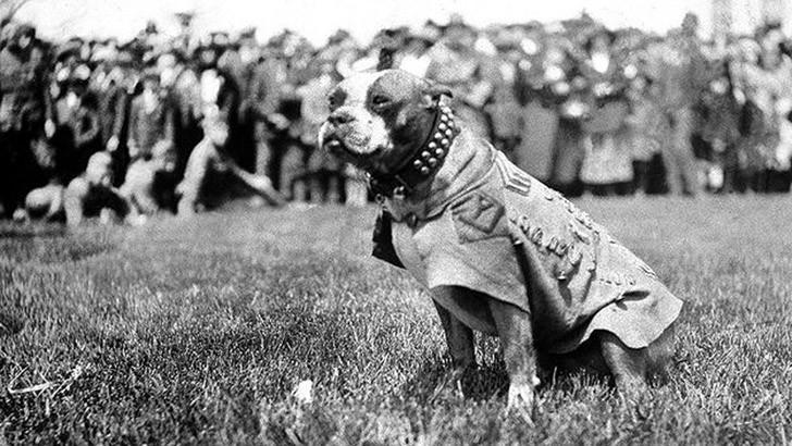 sgtstabby07 Сержант Стабби – героический пес Первой мировой войны