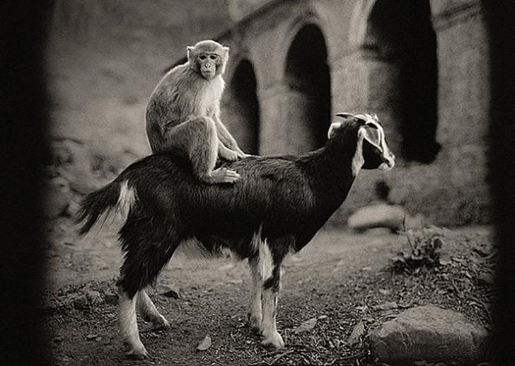 Картинки коза и обезьяна