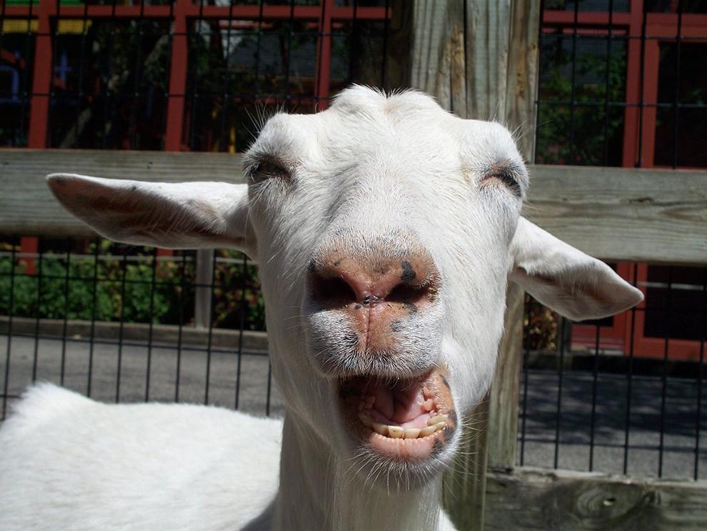 Картинки аккордеон, картинки про коз смешные