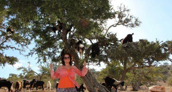 Марокко: летающие (аргановые) козы на деревьях