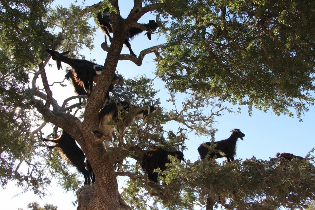 flyingoats02 Марокко: летающие (аргановые) козы на деревьях