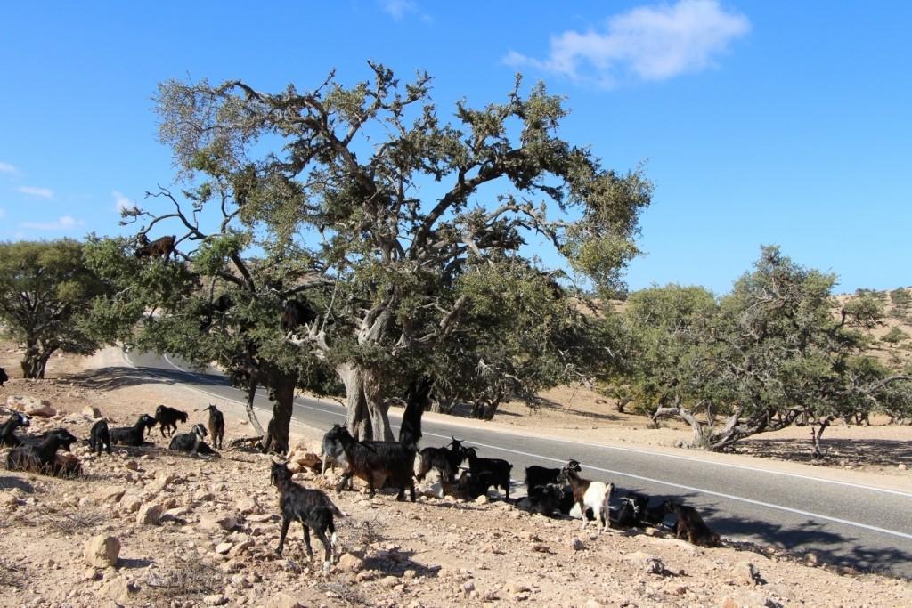 flyingoats03 Марокко: летающие (аргановые) козы на деревьях
