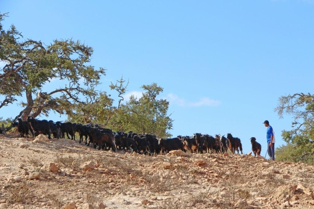 flyingoats04 Марокко: летающие (аргановые) козы на деревьях