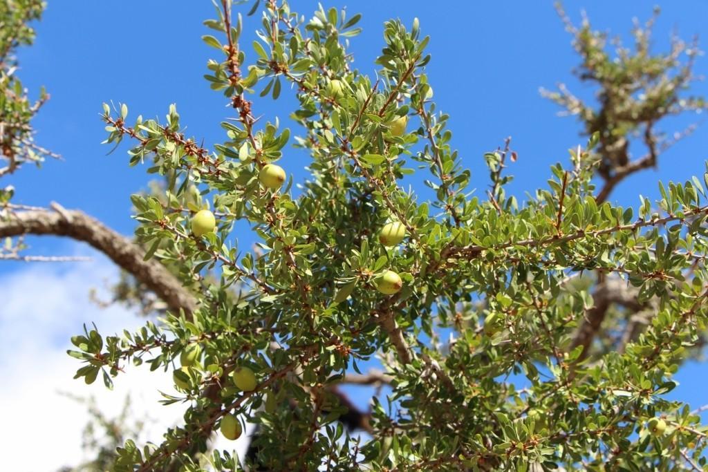 flyingoats05 Марокко: летающие (аргановые) козы на деревьях