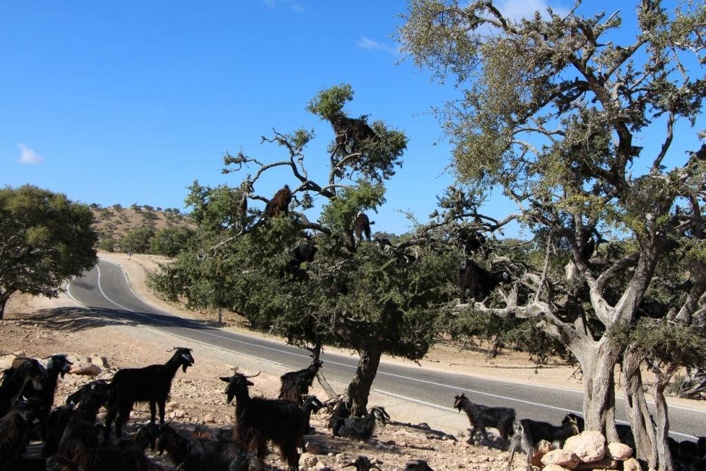 flyingoats06 Марокко: летающие (аргановые) козы на деревьях