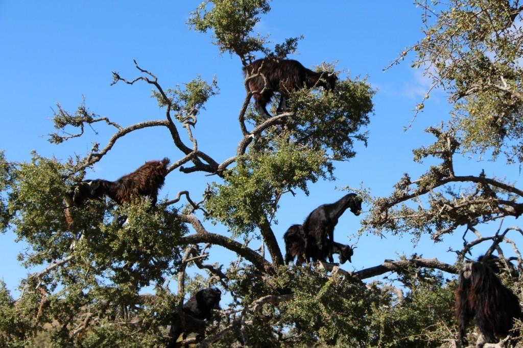 flyingoats07 Марокко: летающие (аргановые) козы на деревьях