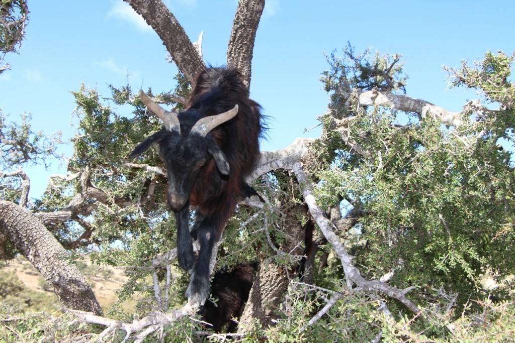 flyingoats08 Марокко: летающие (аргановые) козы на деревьях
