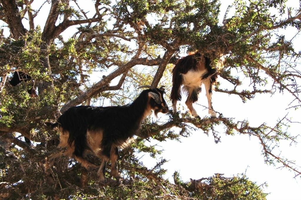 flyingoats09 Марокко: летающие (аргановые) козы на деревьях