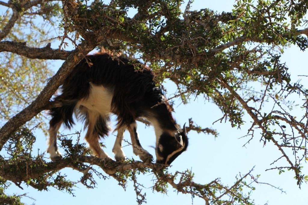 flyingoats10 Марокко: летающие (аргановые) козы на деревьях