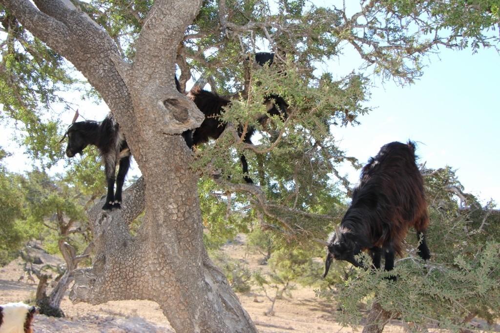 flyingoats11 Марокко: летающие (аргановые) козы на деревьях