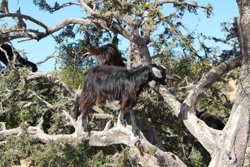 flyingoats12 Марокко: летающие (аргановые) козы на деревьях