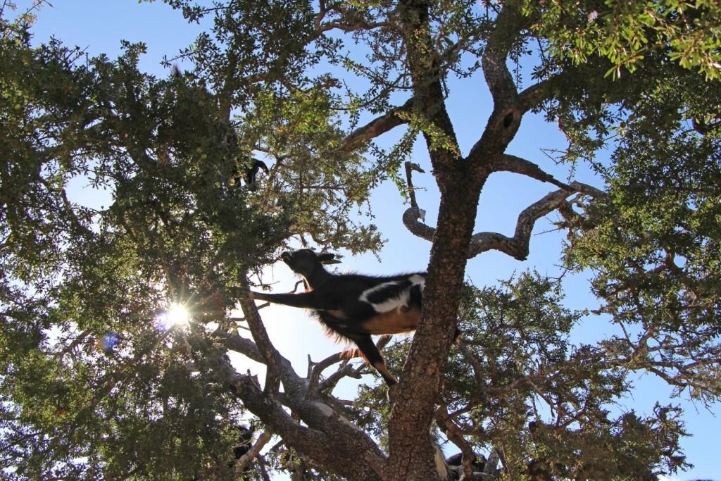 flyingoats13 Марокко: летающие (аргановые) козы на деревьях