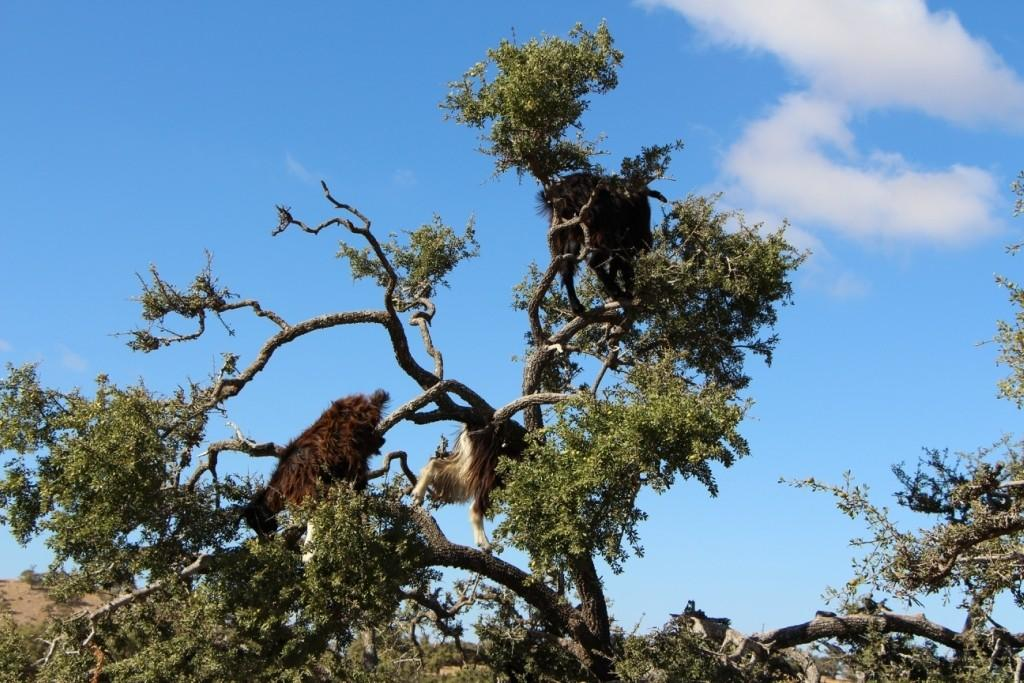 flyingoats15 Марокко: летающие (аргановые) козы на деревьях