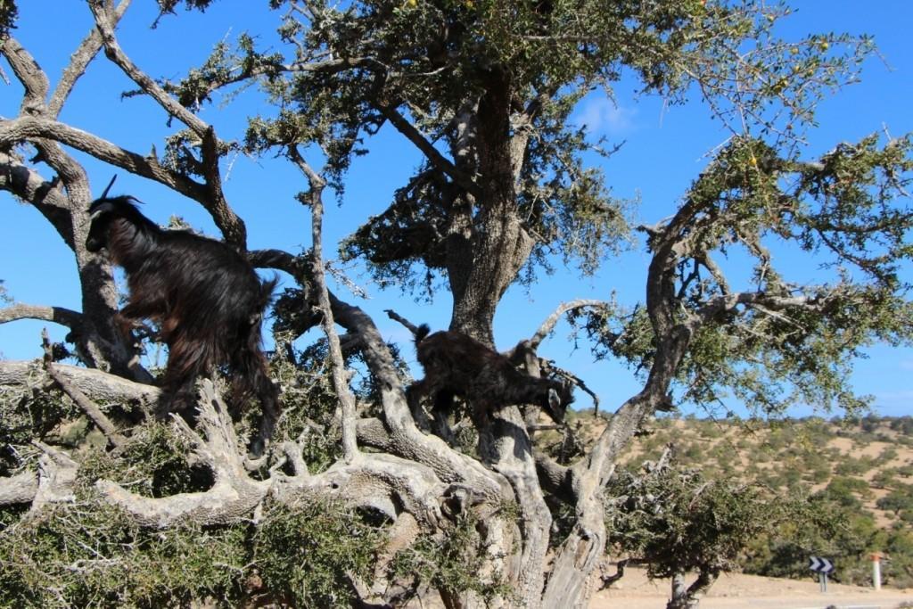 flyingoats16 Марокко: летающие (аргановые) козы на деревьях
