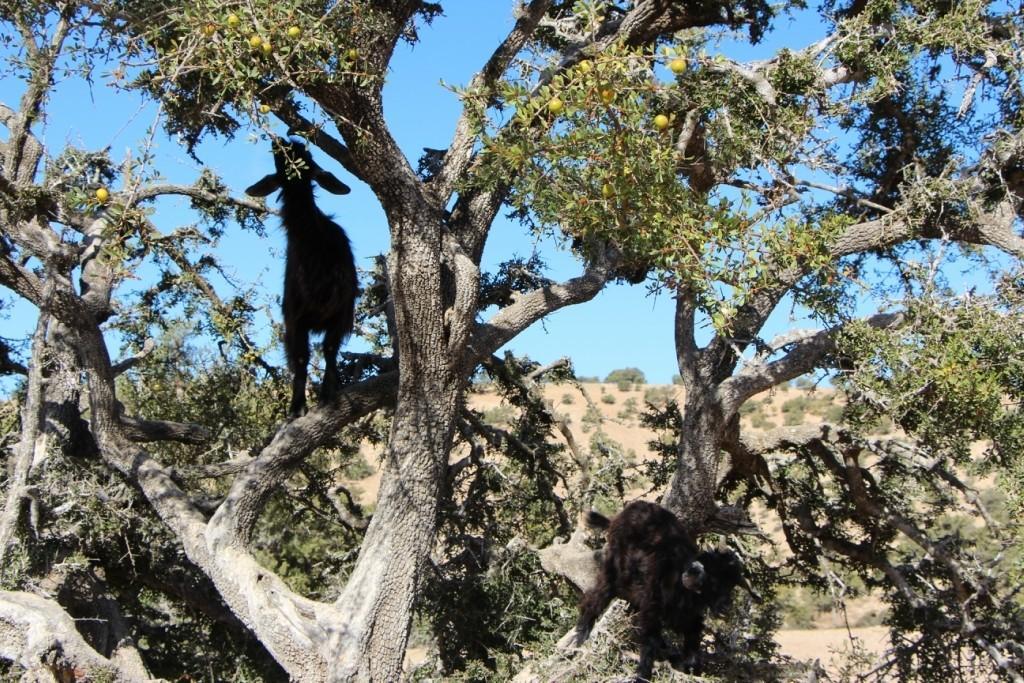 flyingoats17 Марокко: летающие (аргановые) козы на деревьях