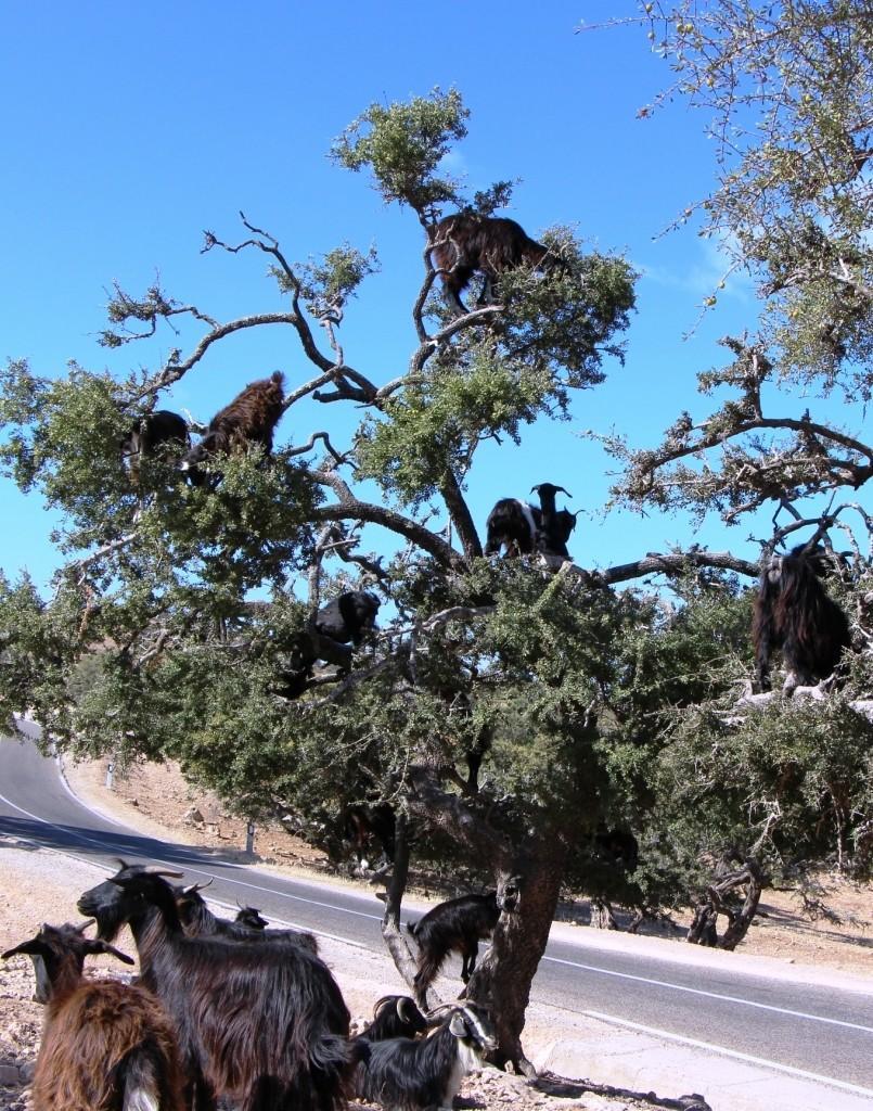 flyingoats18 Марокко: летающие (аргановые) козы на деревьях