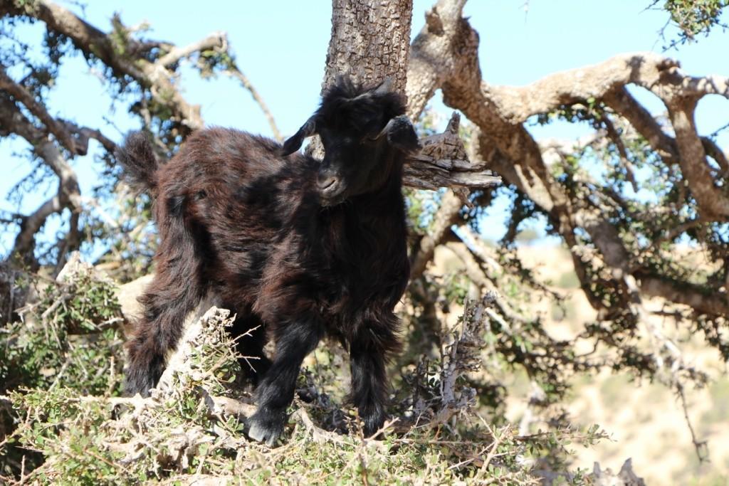 flyingoats19 Марокко: летающие (аргановые) козы на деревьях