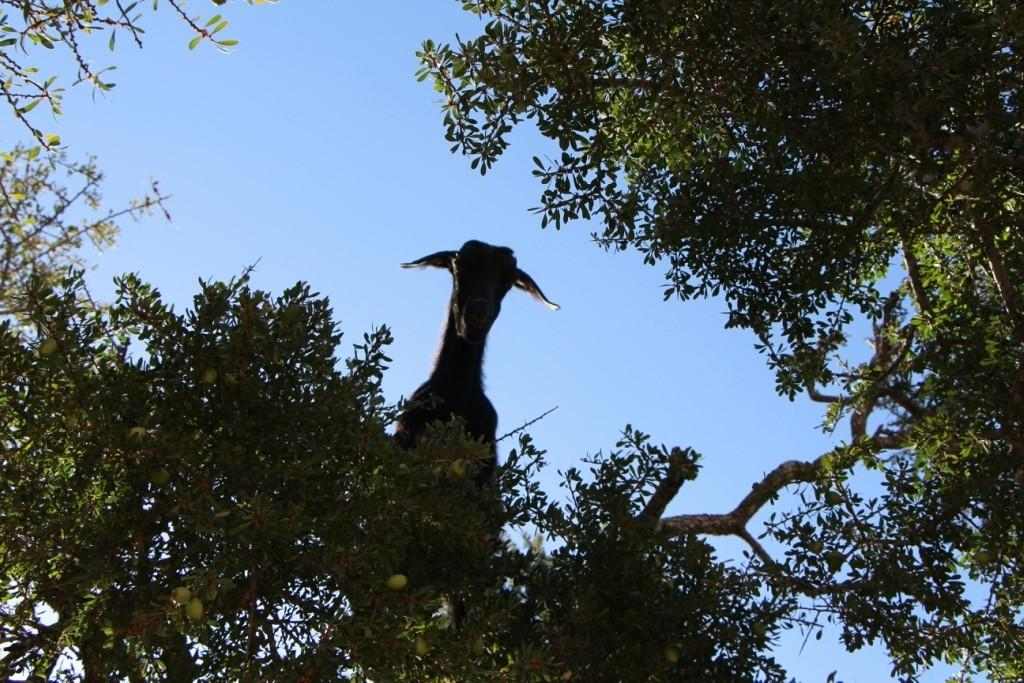 flyingoats20 Марокко: летающие (аргановые) козы на деревьях