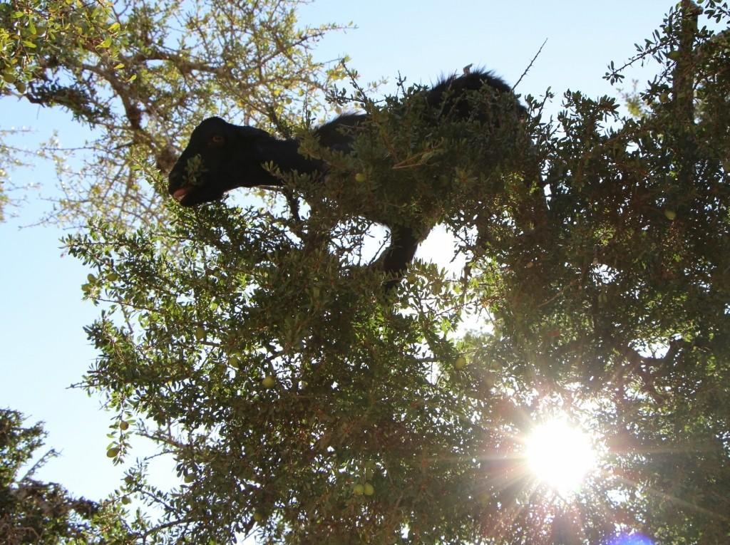 flyingoats21 Марокко: летающие (аргановые) козы на деревьях