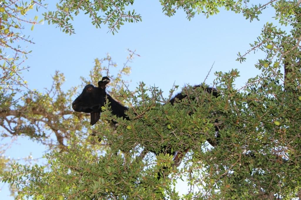 flyingoats22 Марокко: летающие (аргановые) козы на деревьях