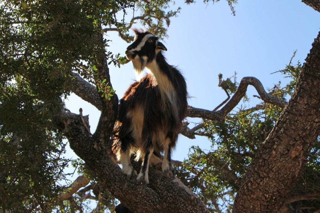 flyingoats23 Марокко: летающие (аргановые) козы на деревьях