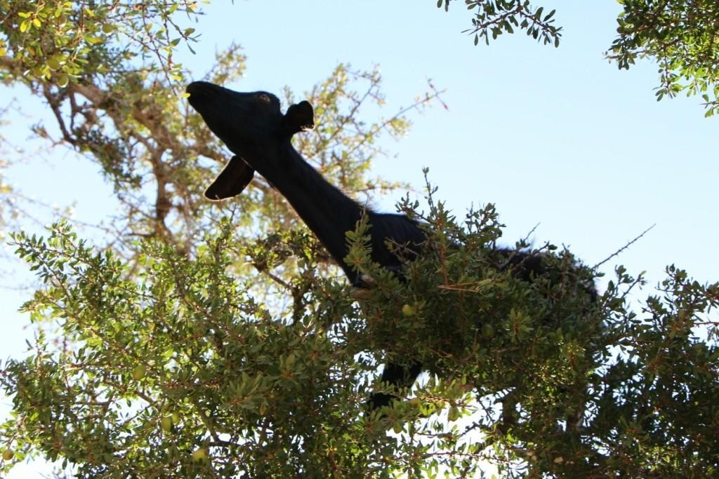 flyingoats24 Марокко: летающие (аргановые) козы на деревьях