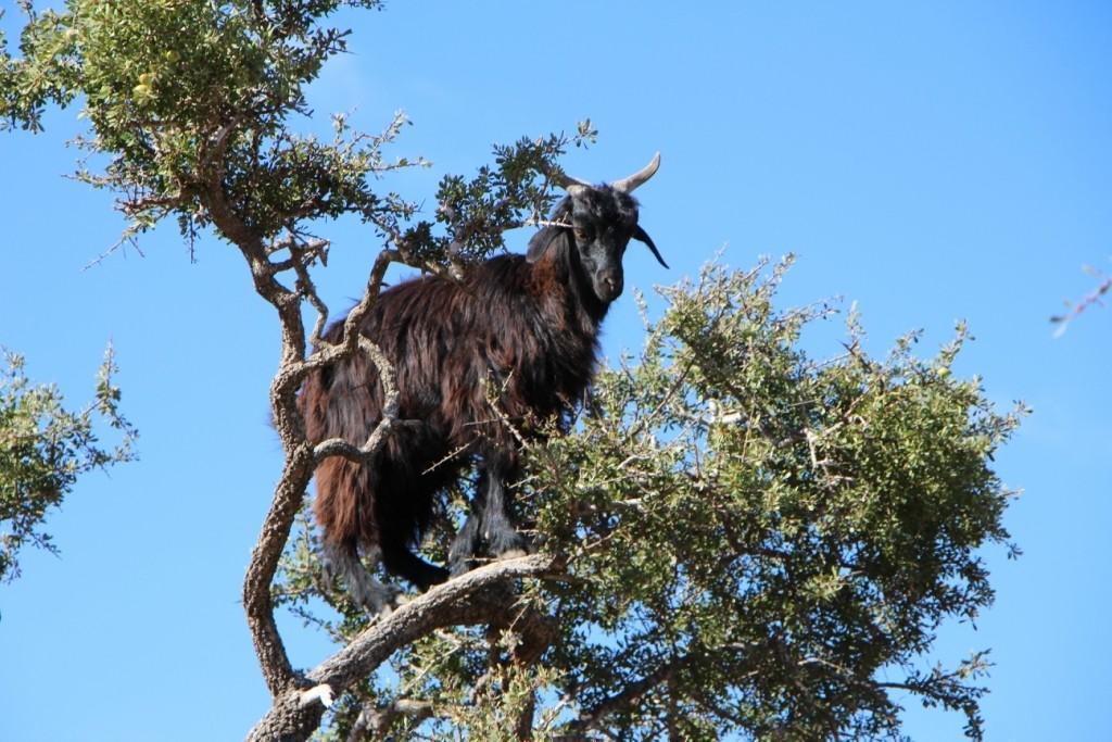flyingoats25 Марокко: летающие (аргановые) козы на деревьях