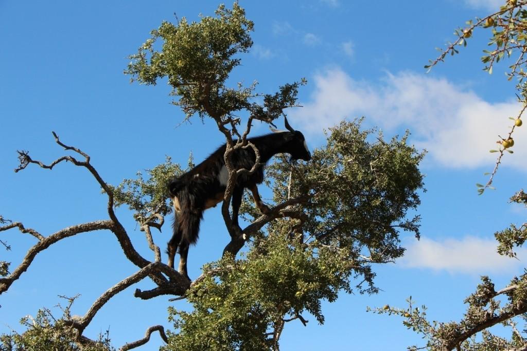 flyingoats26 Марокко: летающие (аргановые) козы на деревьях