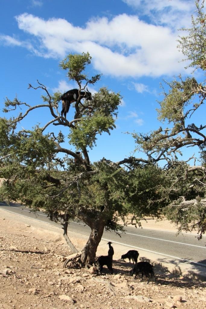flyingoats27 Марокко: летающие (аргановые) козы на деревьях