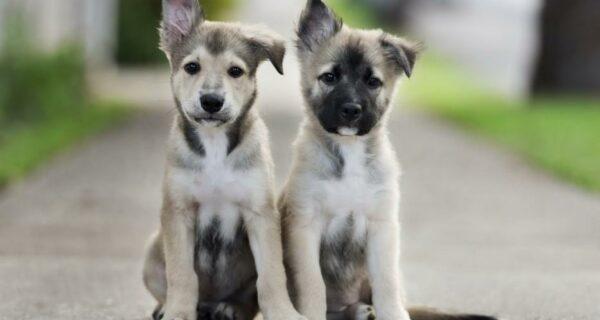 30 фото-доказательств того, что щенки с одним поднятым ухом на 90% милее обычных