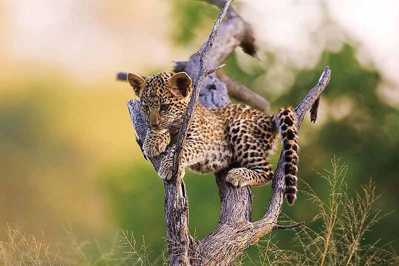 BabyBigCats04 Котята хищных кошек такие мимими