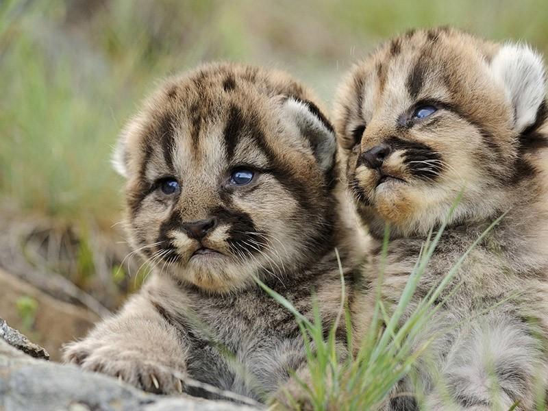 BabyBigCats08 Котята хищных кошек такие мимими
