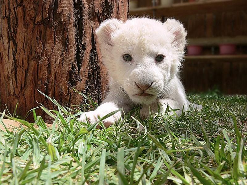 BabyBigCats10 Котята хищных кошек такие мимими